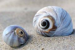 Grote shells Stock Afbeeldingen