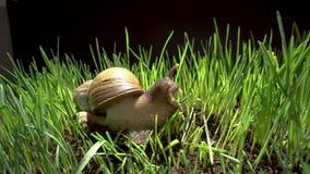 Grote slak die in het gras kruipen stock video