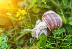 Grote slak in het gras, de macro, de zon, het slakkehuis en macrophotography, zon, weekdier stock foto