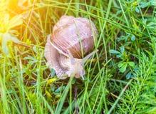 Grote slak in het gras, de macro, de zon, het slakkehuis en macrophotography, zon, weekdier stock afbeeldingen