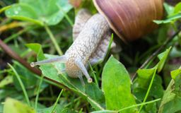 Grote slak in het gras, macrofotografie, slakkehuis royalty-vrije stock foto's