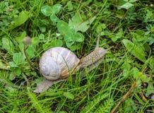 Grote slak met groen gras, natuurlijk close-up, slakkehuis en dierlijk, stock fotografie