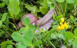 Grote slak met groen gras, natuurlijk close-up, slakkehuis en dierlijk, royalty-vrije stock foto's