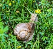 Grote slak met groen gras, natuurlijk close-up, slakkehuis en dierlijk, stock foto