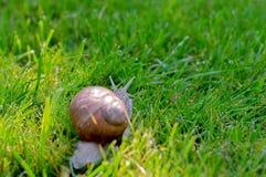Grote slak op een groen gras Stock Fotografie