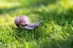 Grote slak op een groen gras Stock Foto