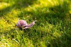 Grote slak op een groen gras Stock Afbeelding