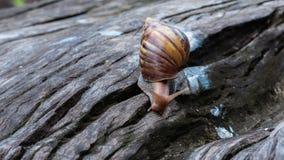 Grote slak in shell die op hout kruipen stock video