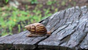 Grote slak in shell die op hout kruipen stock videobeelden