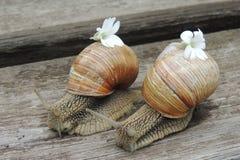 Grote slakken met witte bloem in de tuin op een houten close-up als achtergrond Stock Foto's