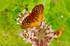 Grote Spangled Fritilary-Vlinder stock foto's