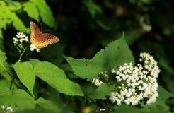 Grote Spangled Fritilary-Vlinder royalty-vrije stock foto's