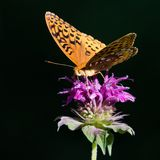 Grote Spangled Fritillary royalty-vrije stock foto
