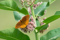 Grote Spangled Fritillary royalty-vrije stock afbeelding