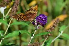 Grote Spangled Fritillary Speyeria cybele royalty-vrije stock foto