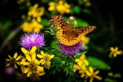 Grote Spangled Fritillary-vlinder op een purpere distelbloem i royalty-vrije stock afbeelding