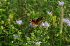 Grote Spangled Frititillary Stock Fotografie