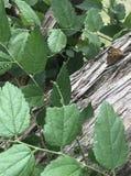 Grote Spangled Vlinder Fritillary stock afbeeldingen
