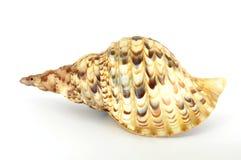 Grote spiraalvormige shell achtermening Stock Afbeelding