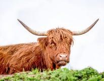 Grote stier met lang bont in dolomiet de de witte als achtergrond/stier/bruin/hoornen van Italië royalty-vrije stock afbeelding