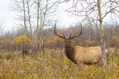 Grote stierenelanden op een onkruidgebied op een donkere daling royalty-vrije stock fotografie