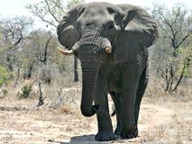 Grote stierenolifant royalty-vrije stock fotografie