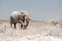Grote Stierenolifant in het Nationale Park van Etosha in Namibië stock afbeeldingen