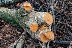 Grote stomp met dwarsdoorsneden en zaagsel op de achtergrond van boomtakken De gezaagde hout en besnoeiingsstapel van boomtakken  royalty-vrije stock foto