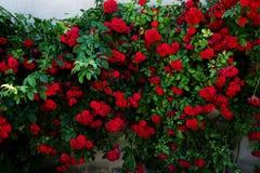 Grote struik van rode rozen Royalty-vrije Stock Afbeelding
