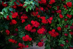 Grote struik van rode rozen Stock Foto's