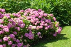 Grote struik van roze bloemhydrangea hortensia die in de tuin bloeien Royalty-vrije Stock Foto's