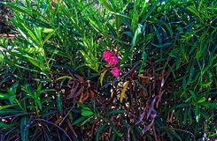 Grote grote struiken met een kleine roze bloem stock afbeelding