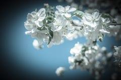 Grote tak van tot bloei komende appelboom op hemelachtergrond Royalty-vrije Stock Afbeelding