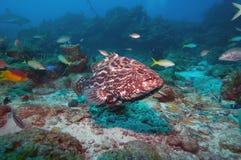 Grote tandbaars en andere tropische vissen stock foto's