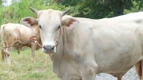 Grote Thaise Witte Os die zich op Landelijke Weg bevinden Royalty-vrije Stock Fotografie