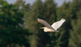 Grote tijdens de vlucht alba EgretArdea royalty-vrije stock afbeelding