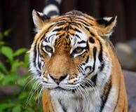 Grote tijger. Royalty-vrije Stock Foto's