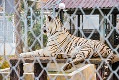 Grote Tijger in Staaldraad Mesh Fence [Panthera Tigris] Royalty-vrije Stock Afbeeldingen