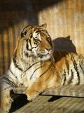 Grote tijgerzitting in een kooi die aan het recht kijken Stock Foto
