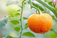 Grote Tomaat en dalingen van water in organische landbouwbedrijven stock foto's