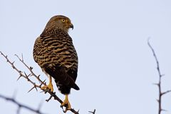 Grote Torenvalk, Wielki Kestrel, Falco rupicoloides obrazy stock
