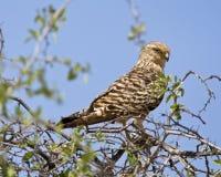 Grote Torenvalk, Wielki Kestrel, Falco rupicoloides zdjęcie royalty free