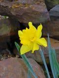 Grote tot een kom gevormde gele carltongele narcis royalty-vrije stock foto
