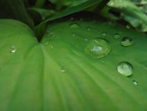 Grote transparante regendruppels op de groene bladeren van de gastheer royalty-vrije stock foto