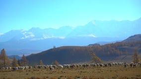 Grote troep die van schapen die, in bergenlandschap lopen bewegen zich van het de wollam van het weiland landelijk vlees natuurli stock videobeelden