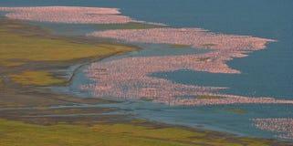 Grote troep van flamingo's op het meer Het nemen van beelden met het panoramische gezicht kenia afrika Nakuru National Park Na va stock foto's