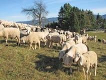 Grote troep van schapen en geiten het weiden Stock Foto's