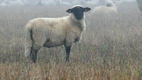 Grote troep van sheeps stock video