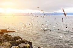 Grote troep van vogels die over meerkust vliegen Vele zeemeeuwen, eenden en zwaan dichtbij rotsachtige kust van vijver Zonsonderg Royalty-vrije Stock Foto's