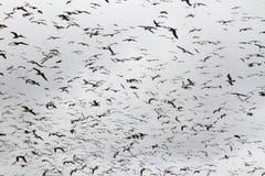 Grote Troep van Zeemeeuwen Stock Fotografie